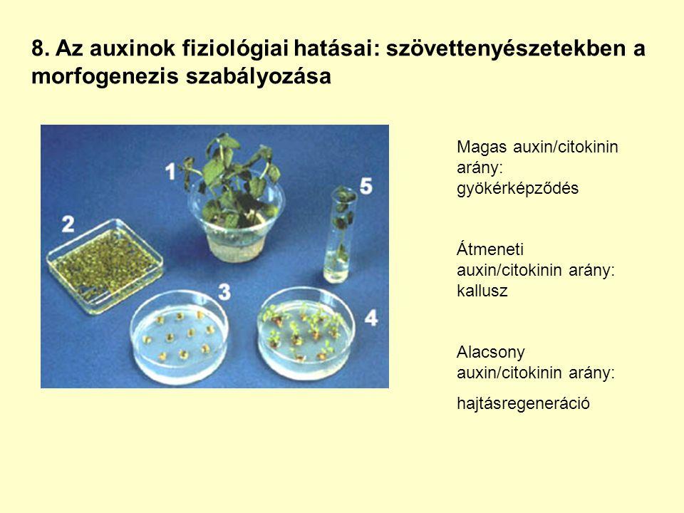 8. Az auxinok fiziológiai hatásai: szövettenyészetekben a morfogenezis szabályozása Magas auxin/citokinin arány: gyökérképződés Átmeneti auxin/citokin
