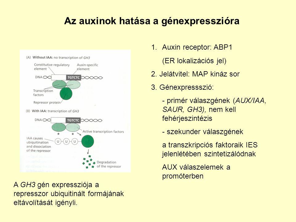 Az auxinok hatása a génexpresszióra 1.Auxin receptor: ABP1 (ER lokalizációs jel) 2.