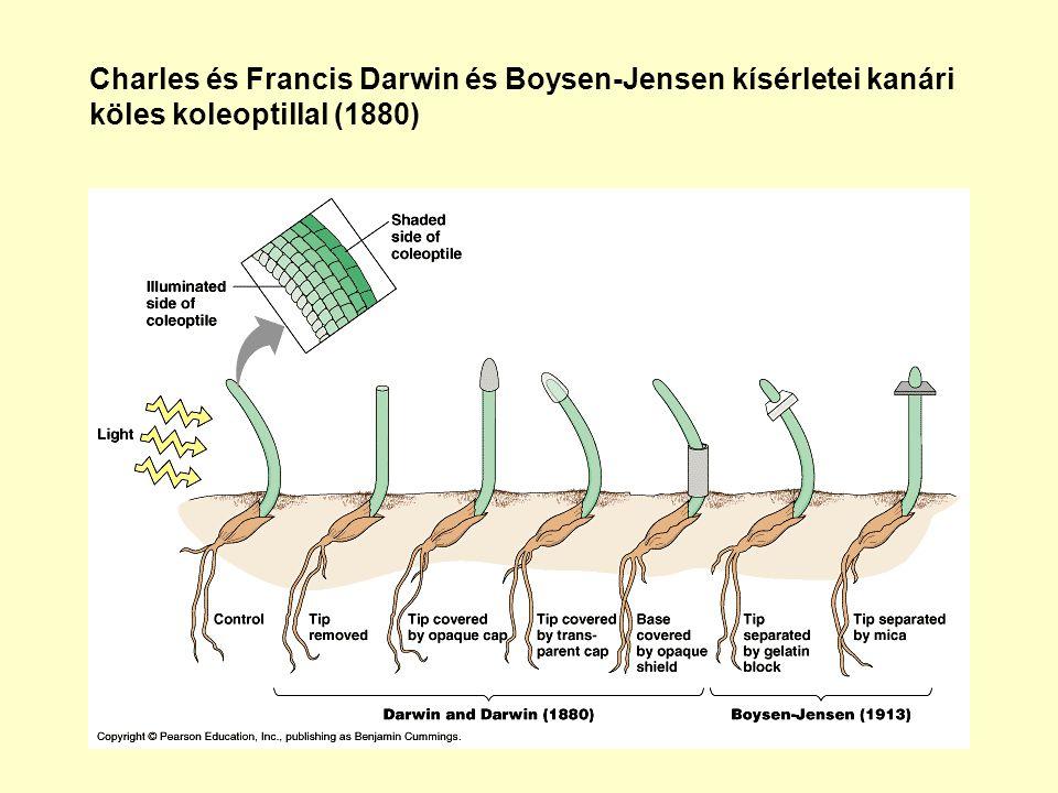 Agrobacterium tumefaciensből származó, CaMV 35S promóter kontrollja alatt expresszálódó, triptofán monooxigenáz (iaaM) és indolacetamid hidroláz (iaaH) génekkel transzformált Nicotiana tabacum cv.