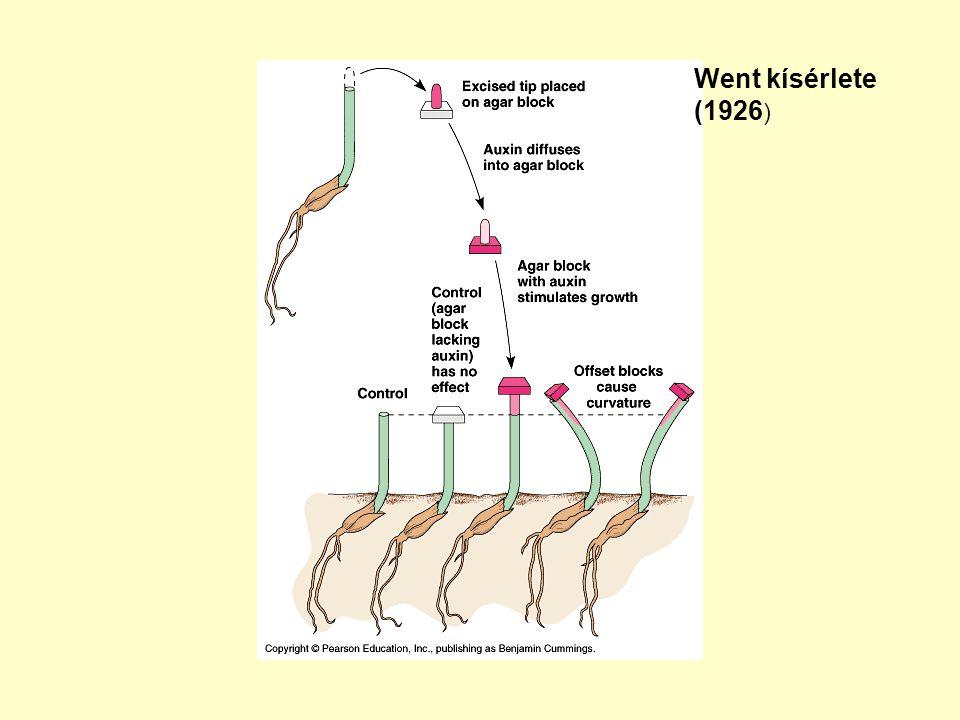 Biológiai teszt az auxinok kimutatására: A koleoptil görbülési szöge egyenesen arányos az agarkockában lévő IES koncentrációjával.