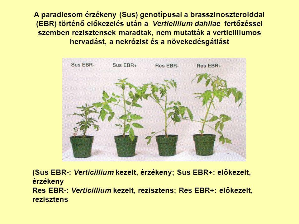 A paradicsom érzékeny (Sus) genotípusai a brasszinoszteroiddal (EBR) történő előkezelés után a Verticillium dahliae fertőzéssel szemben rezisztensek m