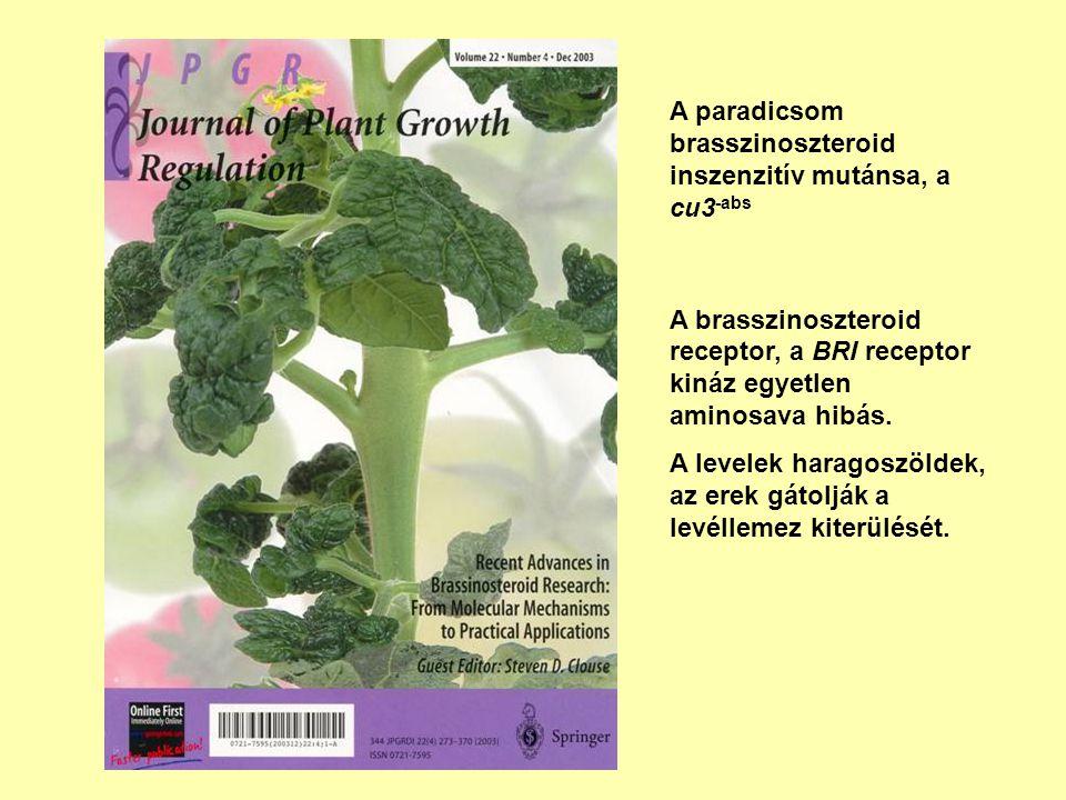 A paradicsom brasszinoszteroid inszenzitív mutánsa, a cu3 -abs A brasszinoszteroid receptor, a BRI receptor kináz egyetlen aminosava hibás. A levelek