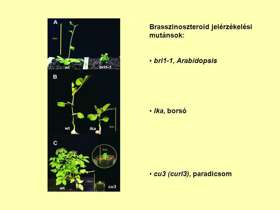 Brasszinoszteroid jelérzékelési mutánsok: bri1-1, Arabidopsis lka, borsó cu3 (curl3), paradicsom