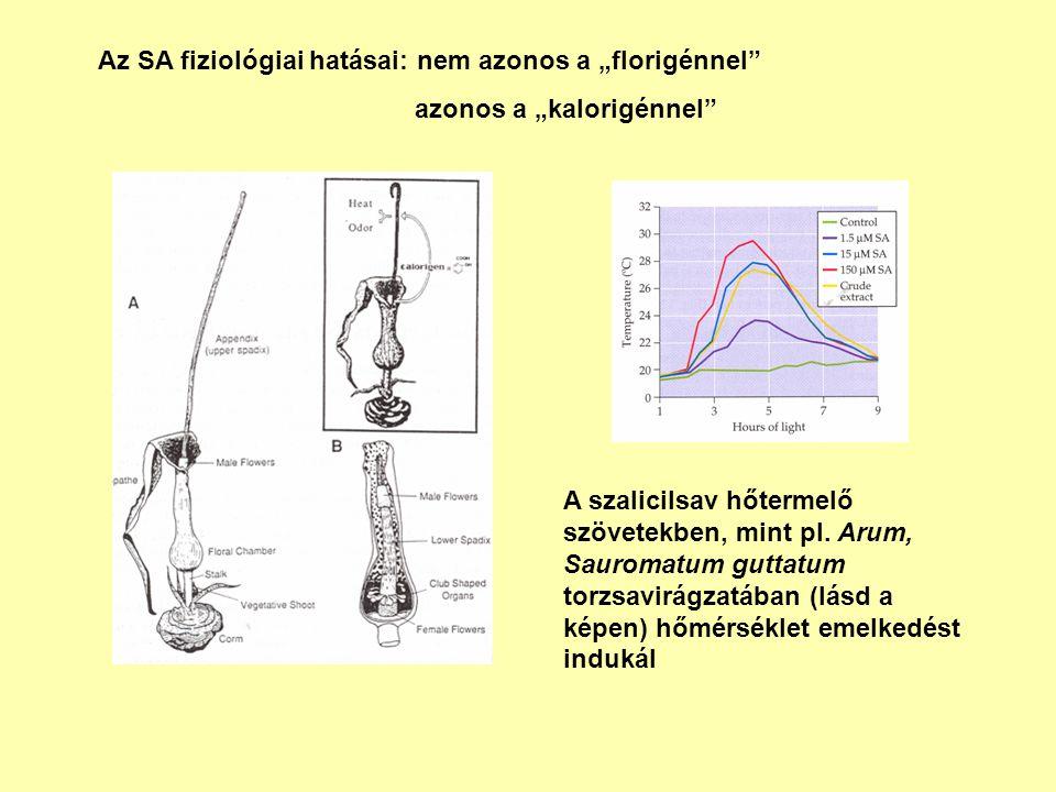 """Az SA fiziológiai hatásai: nem azonos a """"florigénnel"""" azonos a """"kalorigénnel"""" A szalicilsav hőtermelő szövetekben, mint pl. Arum, Sauromatum guttatum"""