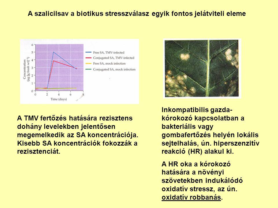 A szalicilsav a biotikus stresszválasz egyik fontos jelátviteli eleme Inkompatibilis gazda- kórokozó kapcsolatban a bakteriális vagy gombafertőzés hel