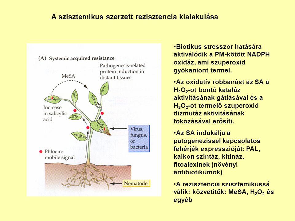 Biotikus stresszor hatására aktiválódik a PM-kötött NADPH oxidáz, ami szuperoxid gyökaniont termel. Az oxidatív robbanást az SA a H 2 O 2 -ot bontó ka
