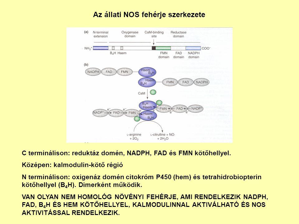 Az állati NOS fehérje szerkezete C terminálison: reduktáz domén, NADPH, FAD és FMN kötőhellyel. Középen: kalmodulin-kötő régió N terminálison: oxigená