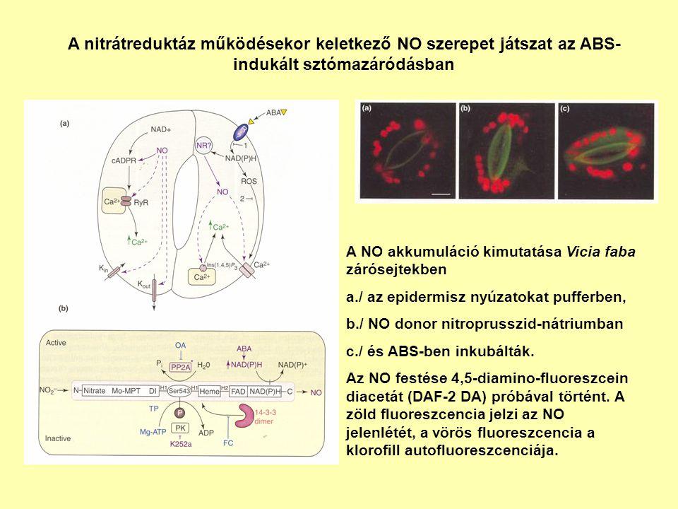 A nitrátreduktáz működésekor keletkező NO szerepet játszat az ABS- indukált sztómazáródásban A NO akkumuláció kimutatása Vicia faba zárósejtekben a./