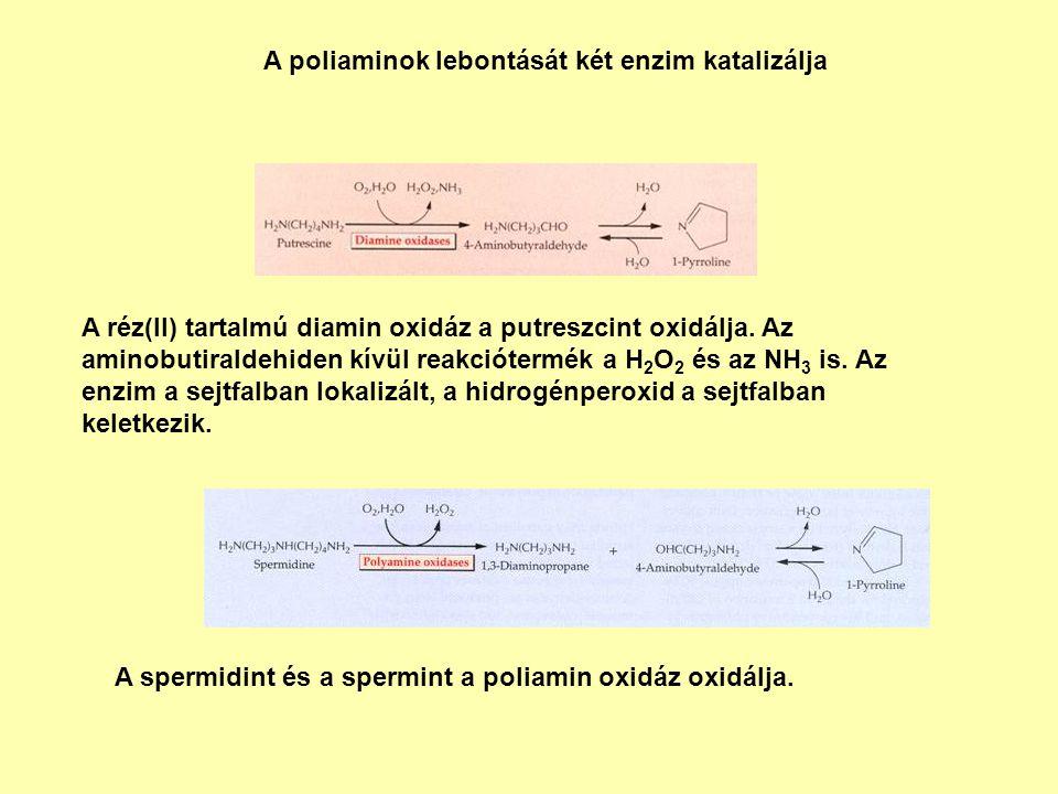 A poliaminok lebontását két enzim katalizálja A réz(II) tartalmú diamin oxidáz a putreszcint oxidálja. Az aminobutiraldehiden kívül reakciótermék a H
