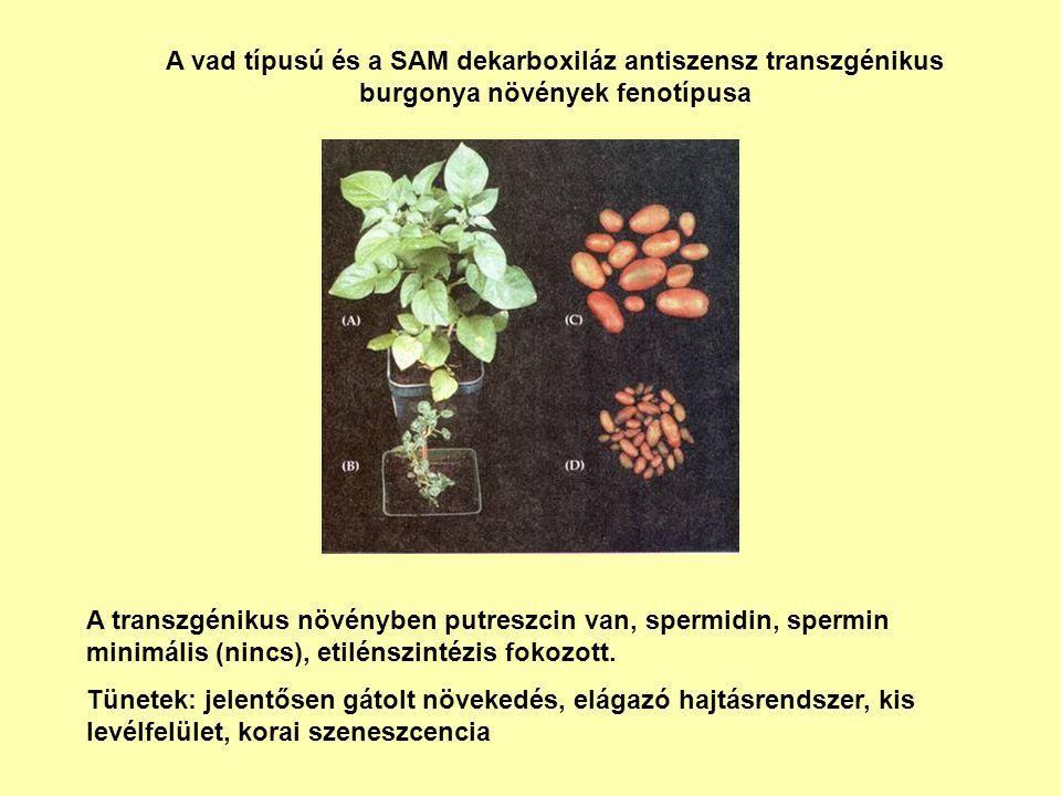 A vad típusú és a SAM dekarboxiláz antiszensz transzgénikus burgonya növények fenotípusa A transzgénikus növényben putreszcin van, spermidin, spermin