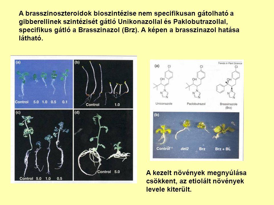 A brasszinoszteroidok bioszintézise nem specifikusan gátolható a gibberellinek szintézisét gátló Unikonazollal és Paklobutrazollal, specifikus gátló a