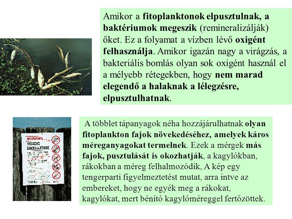 Amikor a fitoplanktonok elpusztulnak, a baktériumok megeszik (remineralizálják) őket. Ez a folyamat a vízben lévő oxigént felhasználja. Amikor igazán