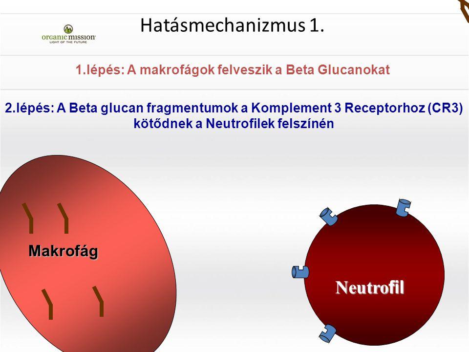 1.lépés: A makrofágok felveszik a Beta Glucanokat Makrofág Hatásmechanizmus 1. Neutro fil 2.lépés: A Beta glucan fragmentumok a Komplement 3 Receptorh