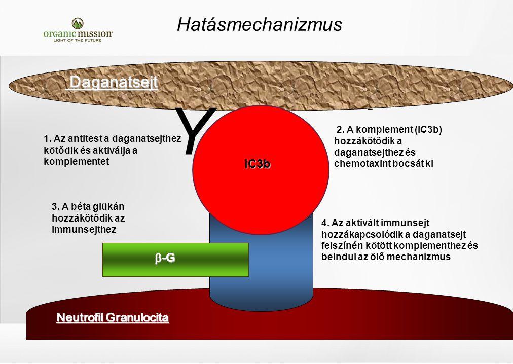 Hatásmechanizmus Neutrofil Granulocita 3. A béta glükán hozzákötődik az immunsejthez 2.
