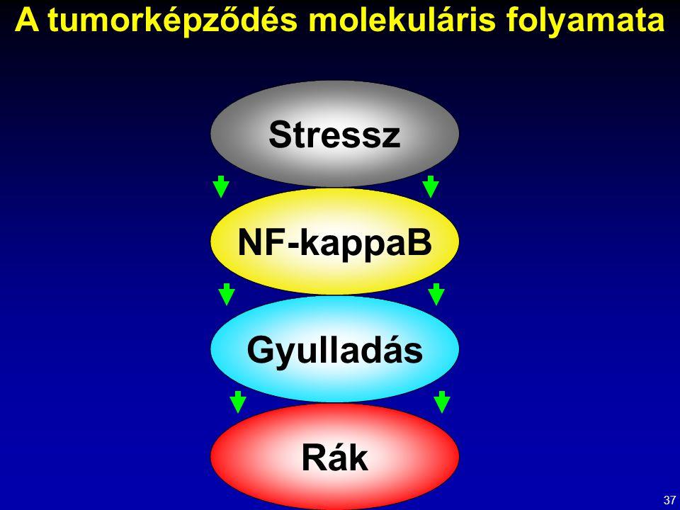 A tumorképződés molekuláris folyamata Stressz NF-kappaB Gyulladás Rák 37