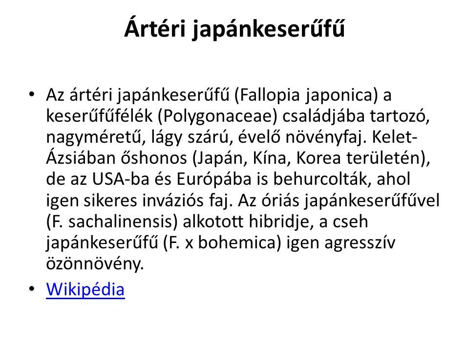 Ártéri japánkeserűfű Az ártéri japánkeserűfű (Fallopia japonica) a keserűfűfélék (Polygonaceae) családjába tartozó, nagyméretű, lágy szárú, évelő növé