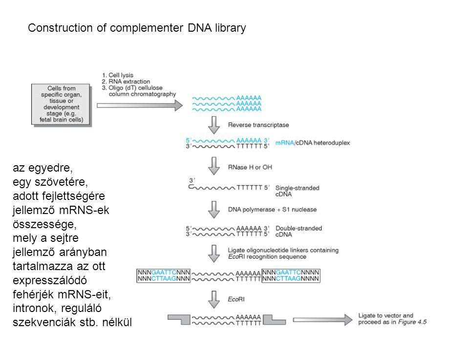 Construction of complementer DNA library az egyedre, egy szövetére, adott fejlettségére jellemző mRNS-ek összessége, mely a sejtre jellemző arányban t