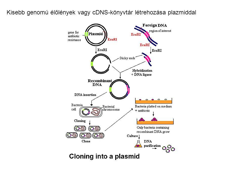 Kisebb genomú élőlények vagy cDNS-könyvtár létrehozása plazmiddal