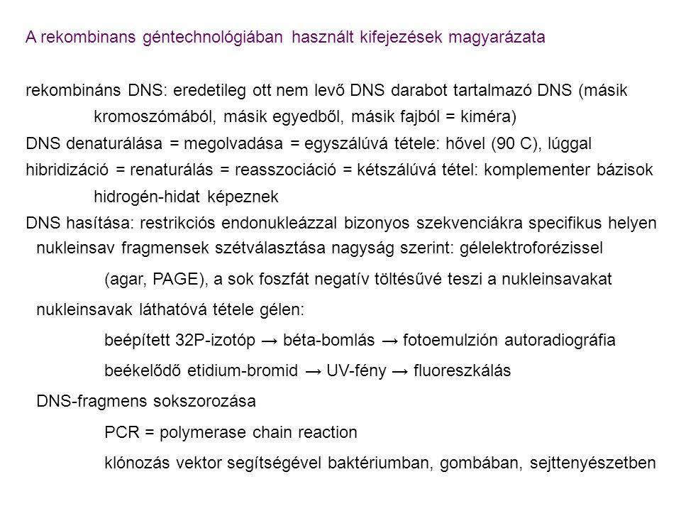 A rekombinans géntechnológiában használt kifejezések magyarázata rekombináns DNS: eredetileg ott nem levő DNS darabot tartalmazó DNS (másik kromoszómá