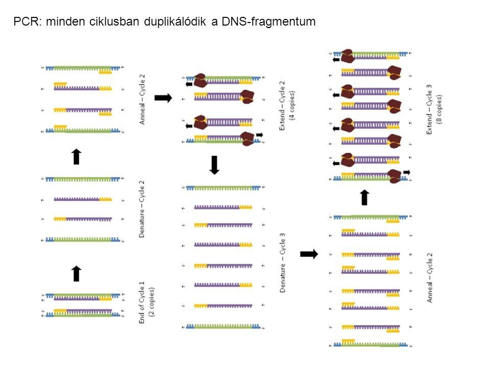 PCR: minden ciklusban duplikálódik a DNS-fragmentum