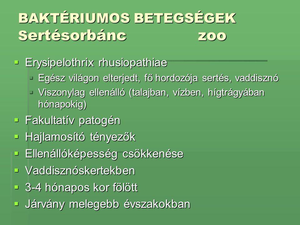 BAKTÉRIUMOS BETEGSÉGEK S ertésorbánczoo  Erysipelothrix rhusiopathiae  Egész világon elterjedt, fő hordozója sertés, vaddisznó  Viszonylag ellenáll