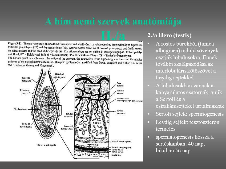 A hím nemi szervek anatómiája II./b 2./a Here (testis) a here mérete és működése között szoros a korreláció: a korral együtt nő a here mérete és javul a spermatermelése a here ultrahangos szerkezete és a spermatermelés között negatív a korreláció több folyadék a herében jobb thermoregulációt jelent, ami a sperma minőségét is javítja