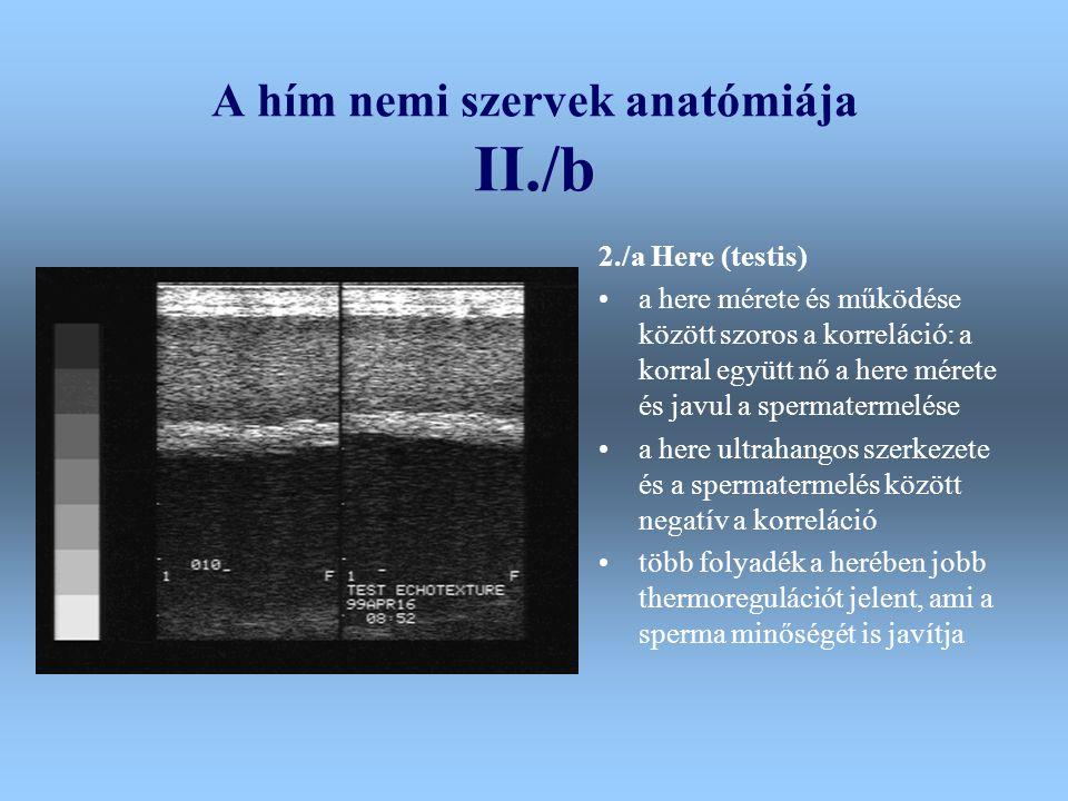 A hím nemi szervek anatómiája II./b 2./a Here (testis) a here mérete és működése között szoros a korreláció: a korral együtt nő a here mérete és javul