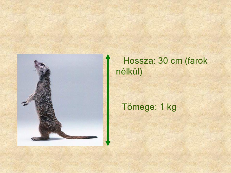 Hossza: 30 cm (farok nélkül) Tömege: 1 kg
