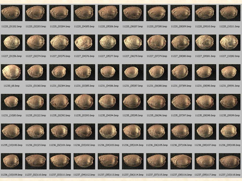 A különböző kajszifajták magjának vizuális jellemzői - alak - szín - felületi mintázat nagy változatosságot mutatnak.