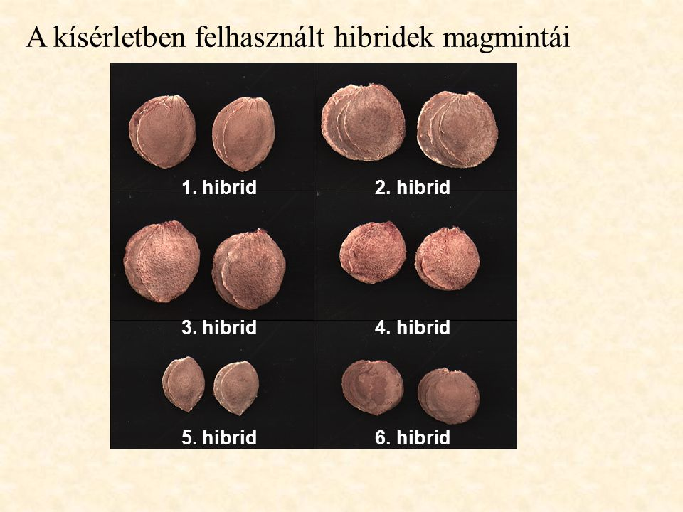 1. hibrid 2. hibrid 3. hibrid 4. hibrid 5. hibrid 6. hibrid A kísérletben felhasznált hibridek magmintái