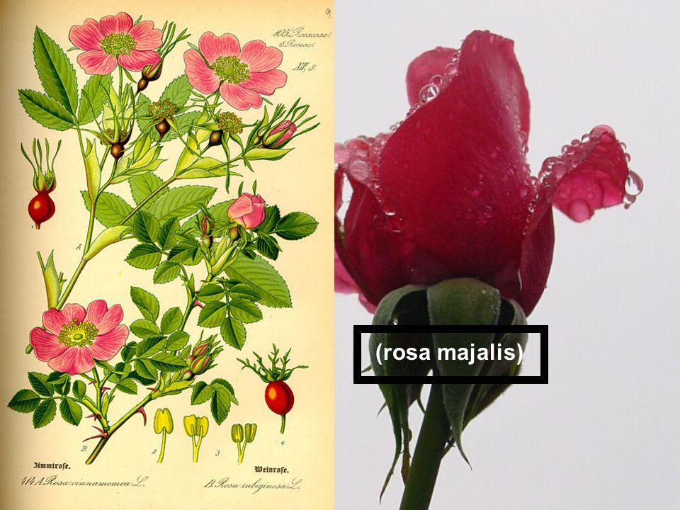 (rosa majalis)