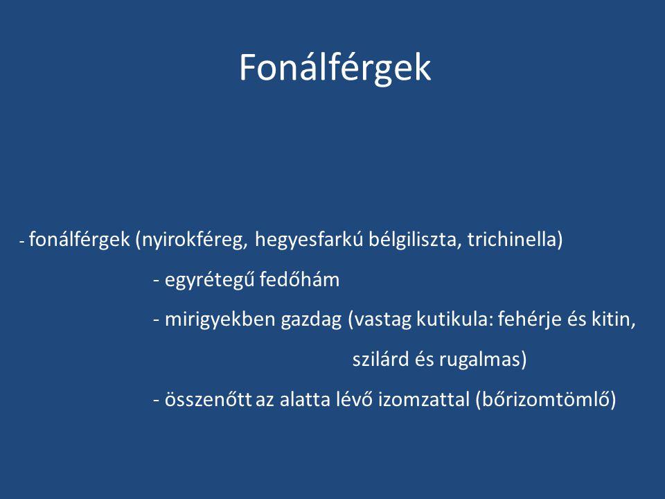 Fonálférgek - fonálférgek (nyirokféreg, hegyesfarkú bélgiliszta, trichinella) - egyrétegű fedőhám - mirigyekben gazdag (vastag kutikula: fehérje és ki