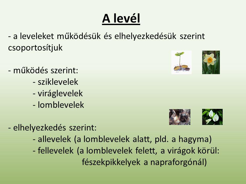 A levél - a leveleket működésük és elhelyezkedésük szerint csoportosítjuk - működés szerint: - sziklevelek - viráglevelek - lomblevelek - elhelyezkedés szerint: - allevelek (a lomblevelek alatt, pld.