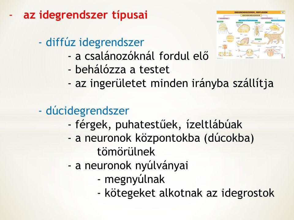 -az idegrendszer típusai - diffúz idegrendszer - a csalánozóknál fordul elő - behálózza a testet - az ingerületet minden irányba szállítja - dúcidegre