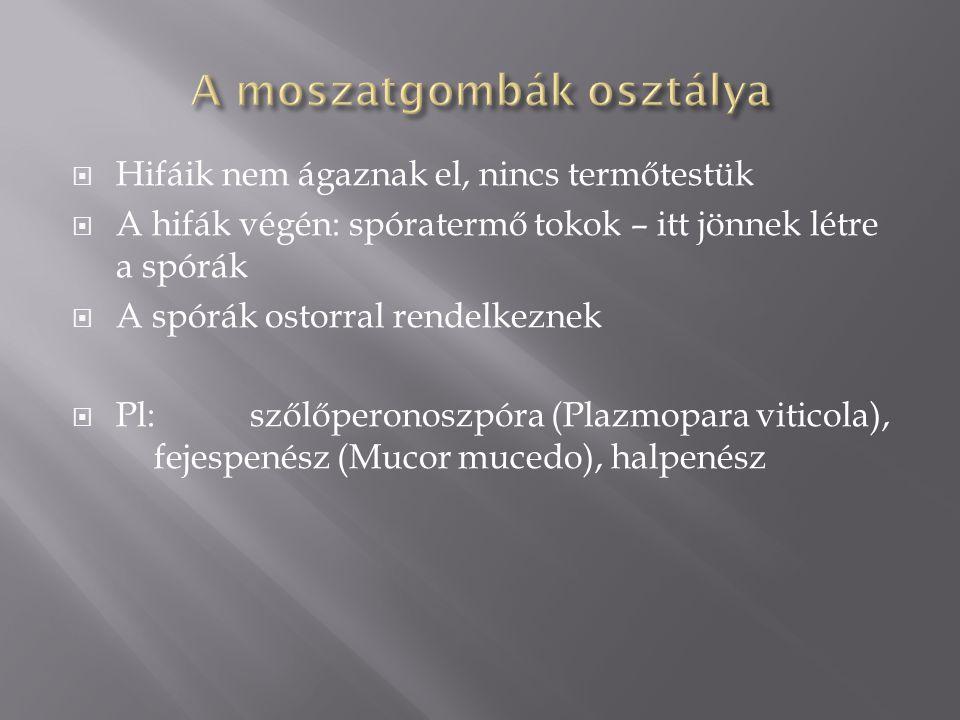  Hifáik nem ágaznak el, nincs termőtestük  A hifák végén: spóratermő tokok – itt jönnek létre a spórák  A spórák ostorral rendelkeznek  Pl: szőlőperonoszpóra (Plazmopara viticola), fejespenész (Mucor mucedo), halpenész
