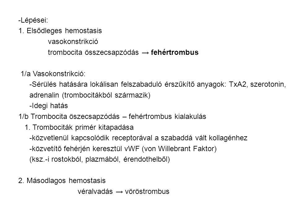 -Lépései: 1. Elsődleges hemostasis vasokonstrikció trombocita összecsapzódás → fehértrombus 1/a Vasokonstrikció: -Sérülés hatására lokálisan felszabad