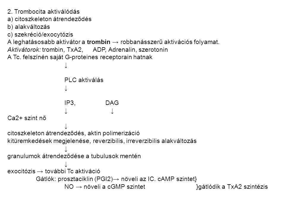 2. Trombocita aktiválódás a) citoszkeleton átrendeződés b) alakváltozás c) szekréció/exocytózis A leghatásosabb aktivátor a trombin → robbanásszerű ak