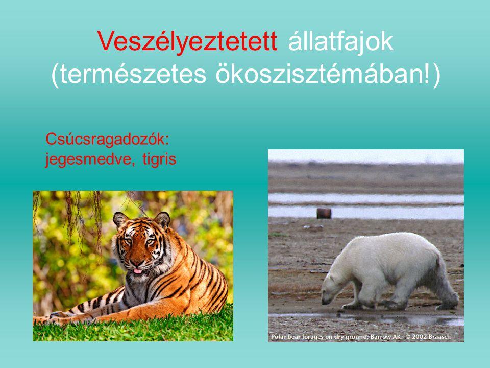 Veszélyeztetett állatfajok (természetes ökoszisztémában!) Csúcsragadozók: jegesmedve, tigris