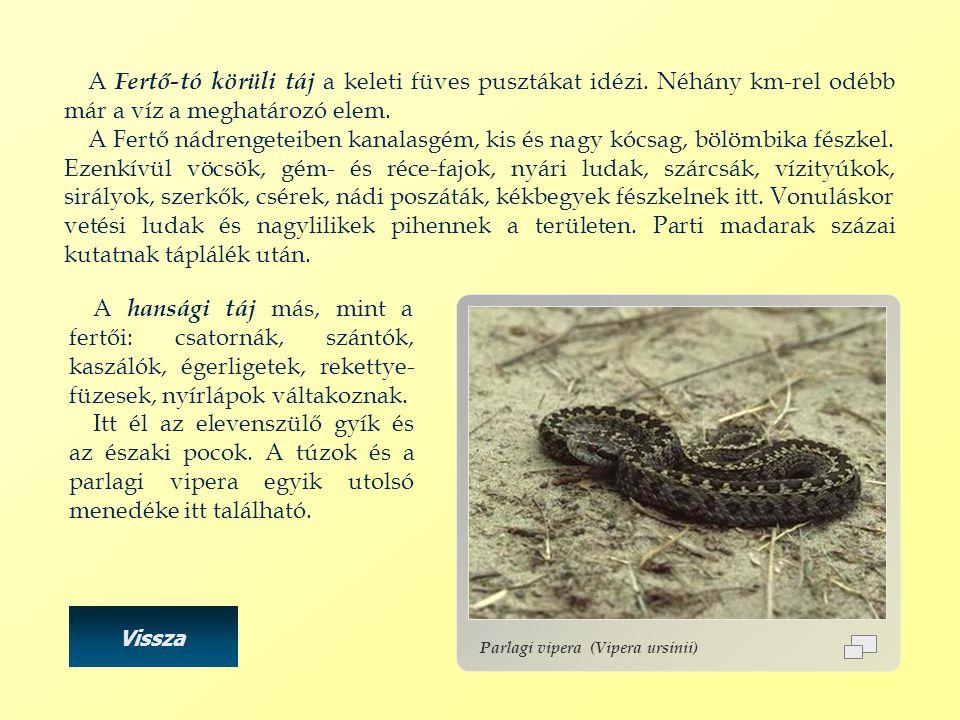 Parlagi vipera (Vipera ursinii) A Fertő-tó körüli táj a keleti füves pusztákat idézi. Néhány km-rel odébb már a víz a meghatározó elem. A Fertő nádren