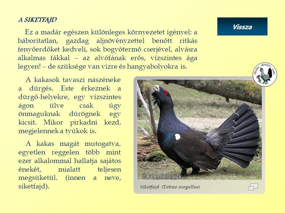 Vissza Siketfajd (Tetrao urogallus) A SIKETFAJD Ez a madár egészen különleges környezetet igényel: a háborítatlan, gazdag aljnövényzettel benőtt ritká