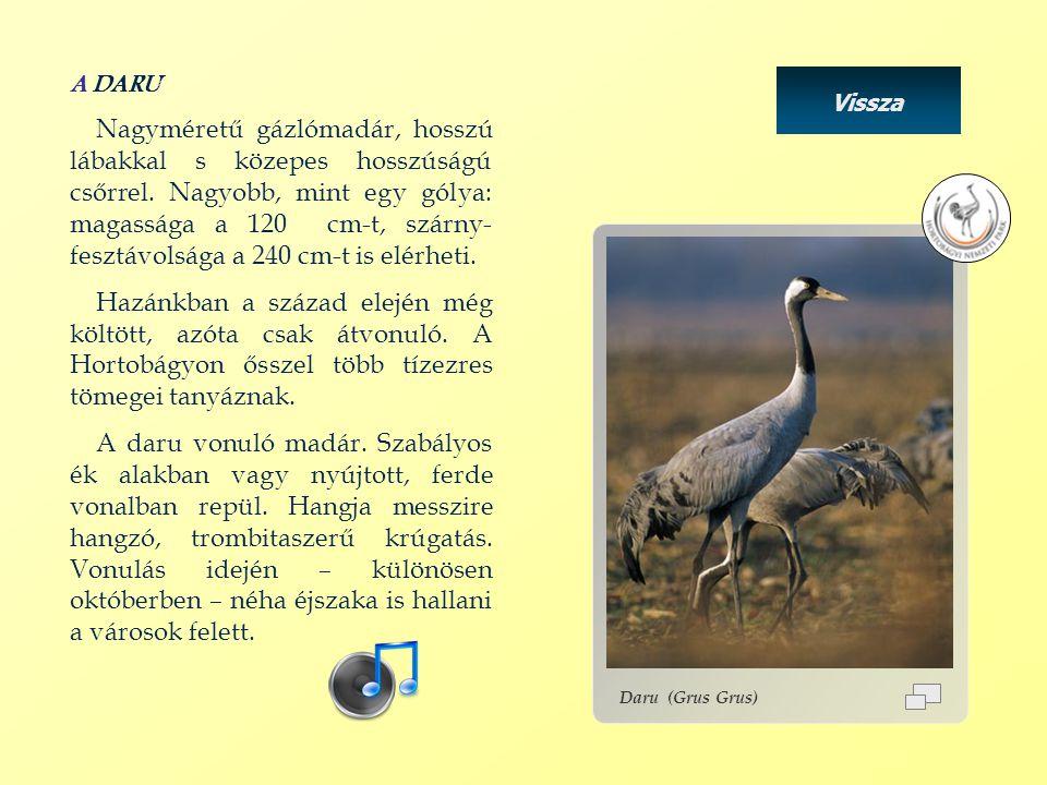 A DARU Nagyméretű gázlómadár, hosszú lábakkal s közepes hosszúságú csőrrel. Nagyobb, mint egy gólya: magassága a 120 cm-t, szárny- fesztávolsága a 240