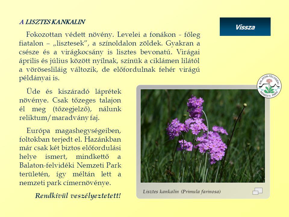 Lisztes kankalin (Primula farinosa) Vissza Üde és kiszáradó láprétek növénye. Csak tőzeges talajon él meg (tőzegjelző), nálunk reliktum/maradvány faj.
