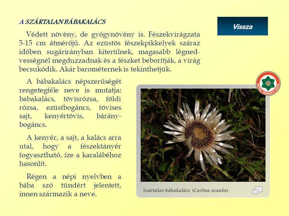 Vissza Szártalan bábakalács (Carlina acaulis) A SZÁRTALAN BÁBAKALÁCS Védett növény, de gyógynövény is. Fészekvirágzata 5-15 cm átmérőjű. Az ezüstös fé