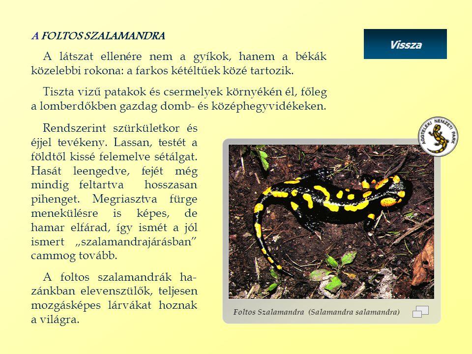 Vissza Foltos Szalamandra (Salamandra salamandra) A FOLTOS SZALAMANDRA A látszat ellenére nem a gyíkok, hanem a békák közelebbi rokona: a farkos kétéltűek közé tartozik.