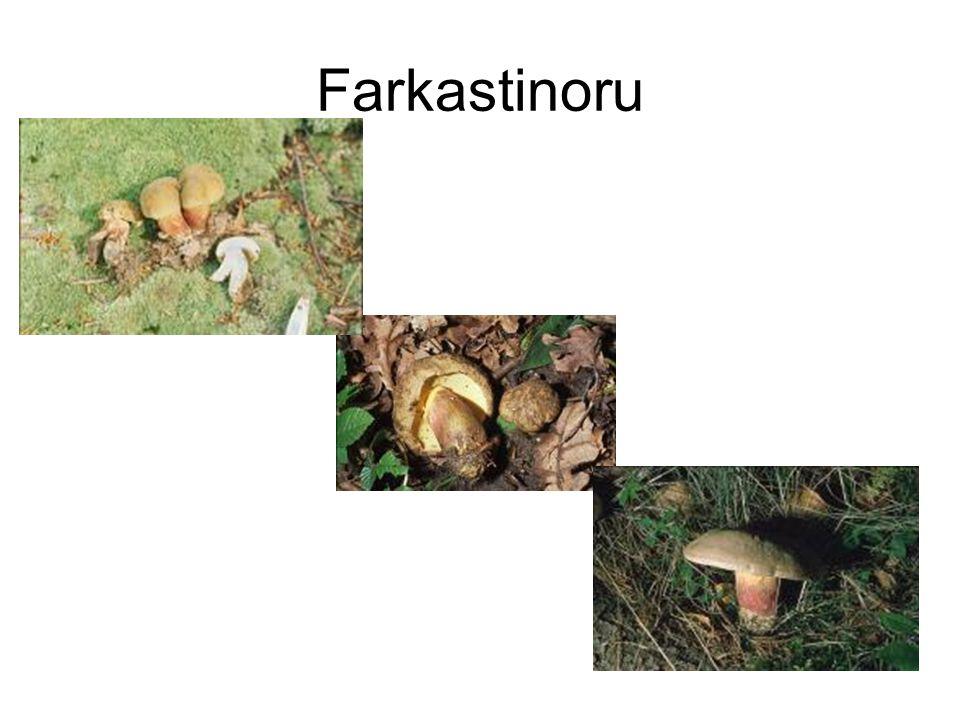 Farkastinoru