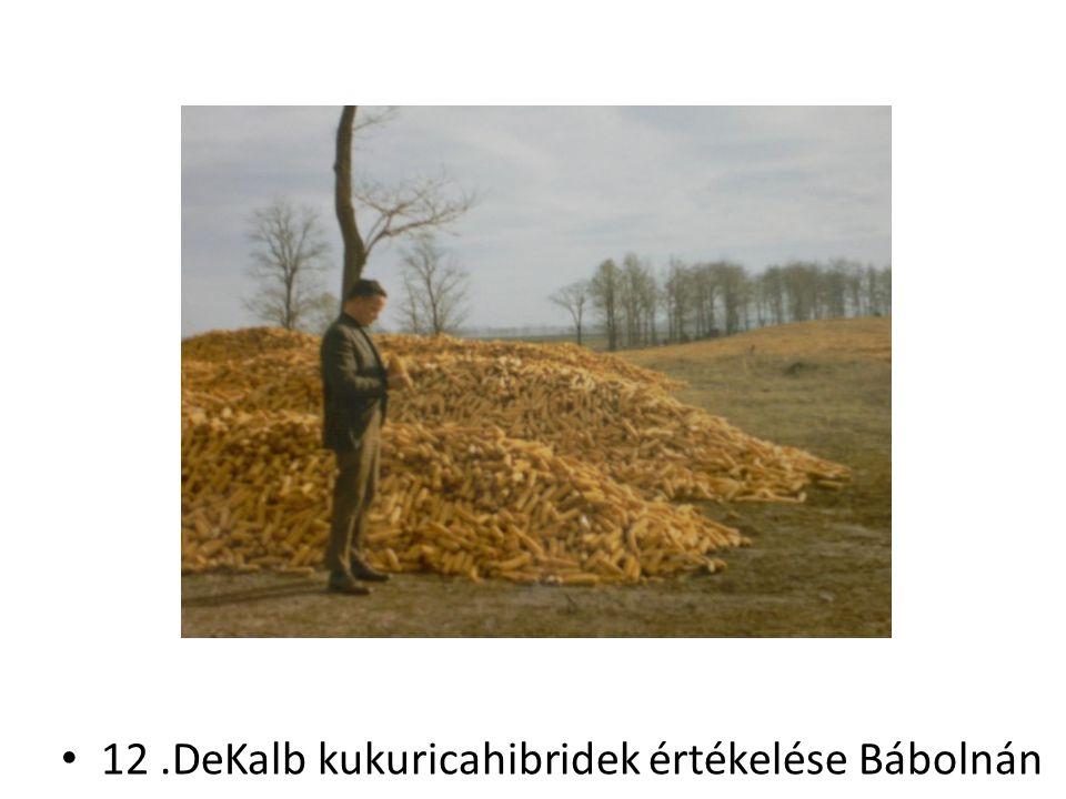 12.DeKalb kukuricahibridek értékelése Bábolnán
