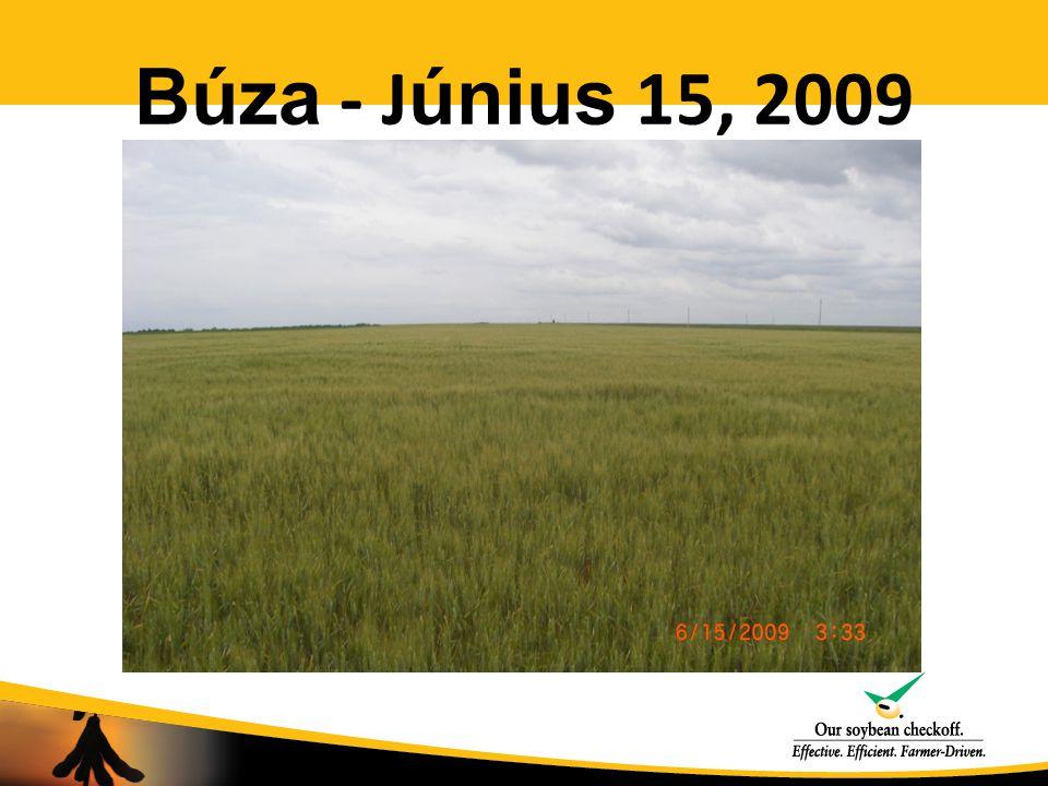 Búza - J únius 15, 2009