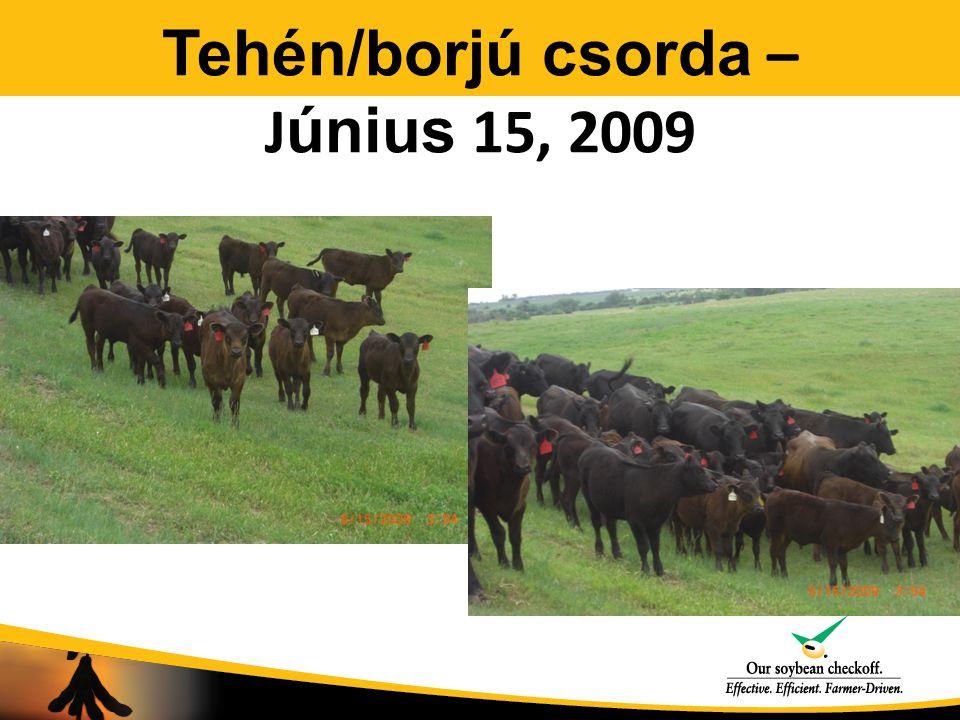 Tehén/borjú csorda – J únius 15, 2009