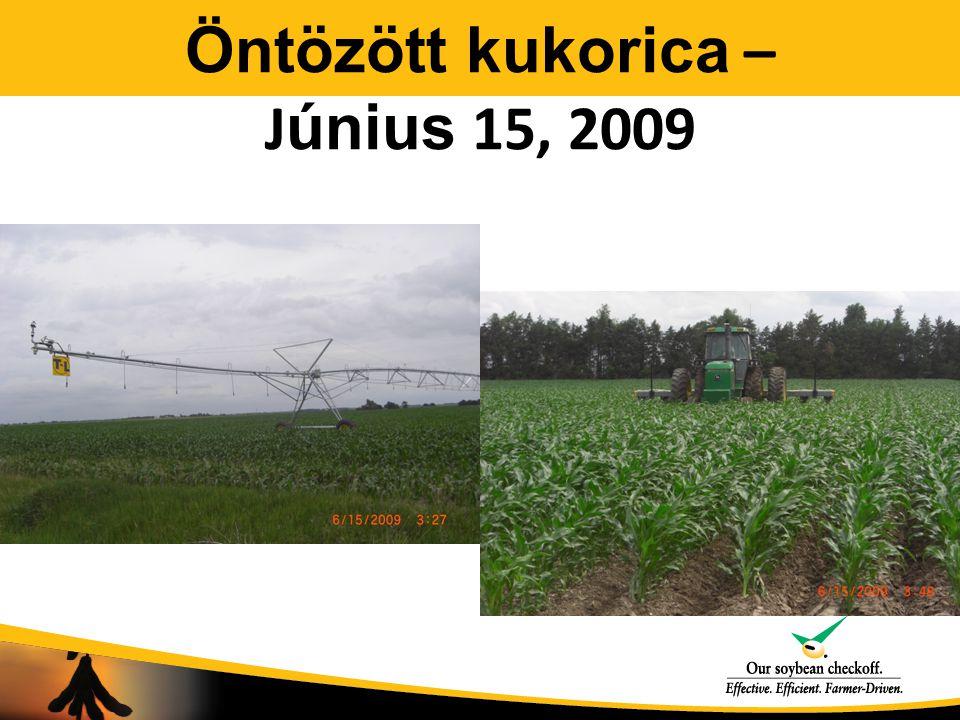 Öntözött kukorica – J únius 15, 2009