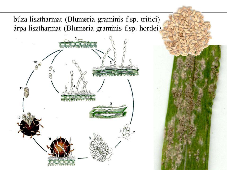 búza lisztharmat (Blumeria graminis f.sp. tritici) árpa lisztharmat (Blumeria graminis f.sp. hordei)